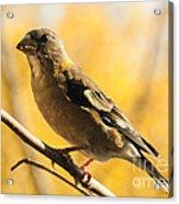 Fall Grosbeak Acrylic Print