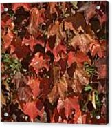 Fall Ivy On An Old Wall Acrylic Print