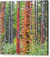 Fall Ivy On The Trees Acrylic Print