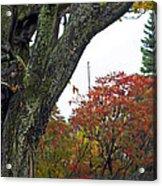 Fall Maple Acrylic Print