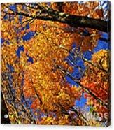 Fall Maple Treetops Acrylic Print by Elena Elisseeva