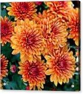 Fall Mums Acrylic Print