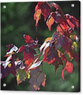 Fall Red Acrylic Print