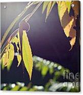 Fall Sumac Acrylic Print