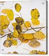 Fallen Autumn Aspen Leaves Acrylic Print