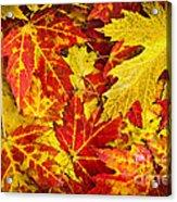 Fallen Autumn Maple Leaves  Acrylic Print