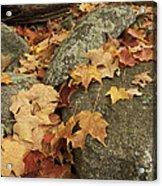 Fallen Autumn Sugar Maple Leaves Acrylic Print