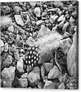 Fallen Feathers Black And White Acrylic Print