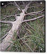 Fallen Pine Tree Acrylic Print