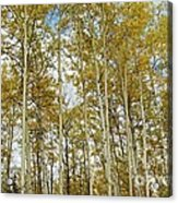 Falling For The Birch And Aspens Acrylic Print