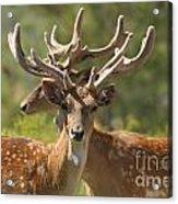 Fallow Deer Dama Dama Stags Acrylic Print