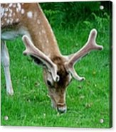 Fallow Deers Lunchtime Acrylic Print by Isabella F Abbie Shores FRSA