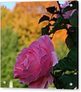 Fall's Final Rose Acrylic Print
