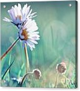 Family Of Daisy  Acrylic Print