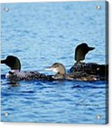 Family Swim 2 Acrylic Print
