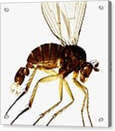 Fan-tail Fly, Light Micrograph Acrylic Print