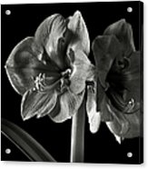 Fancy Amaryllis In Black And White Acrylic Print