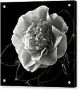 Fancy Camellia In Black And White Acrylic Print