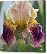 Fancy Iris Dance Ruffles Acrylic Print
