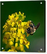 Fanfare For The Common Bumblebee Acrylic Print