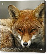 Fantastic Mr Fox Acrylic Print by Jacqui Collett