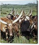 Fantastically Long-horned Ankole Cattle Acrylic Print