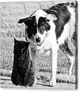 Farm Cat And Border Collie Acrylic Print by Thomas R Fletcher