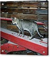 Farm Cat Acrylic Print