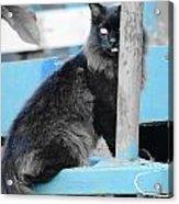 Farm Kitty On Blue Wagon Acrylic Print