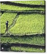 Farmer In Rice Paddy, Elevated View Acrylic Print