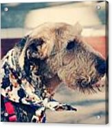 Airedale On The Fashion Runway Acrylic Print