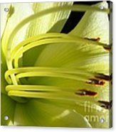 Favorite White Lily Acrylic Print