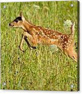 Fawn Bounce  Acrylic Print by Glenn Lawrence