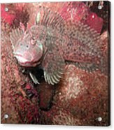 Feather Blenny Female Acrylic Print