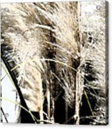 Feather Grass Acrylic Print