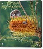 Feather-tail Glider Acrobates Pygmaeus Acrylic Print
