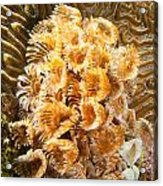 Featherduster Acrylic Print