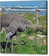 Feathers By The Sea Wild Female E African Ostrich Southern Race Cape Of Good Hope South Africa Acrylic Print