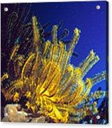 Featherstars On Coral Acrylic Print