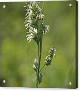 Feathery Reed Canary Grass Vignette Acrylic Print