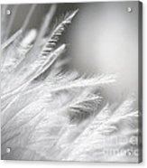 Feathery White Acrylic Print