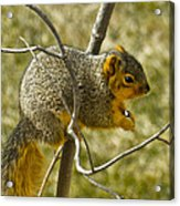 Feeding Tree Squirrel Acrylic Print