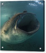 Feeding Whale Shark, La Paz, Mexico Acrylic Print
