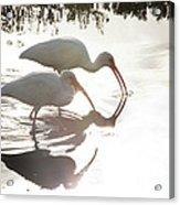 Feeding White Ibis Acrylic Print
