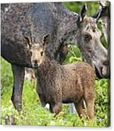 Female And A Three Weeks Old Moose Acrylic Print
