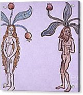 Female And Male Mandrake, Alchemy Plant Acrylic Print