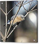 Female Bluebird Acrylic Print