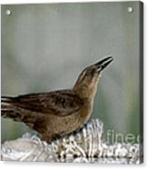 Female Boat Tailed Grackle Acrylic Print