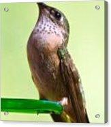 Female Calliope Hummingbird Acrylic Print