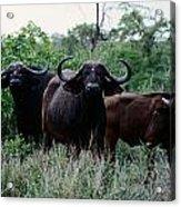 Female Cape Buffalo Syncerus Caffer Acrylic Print